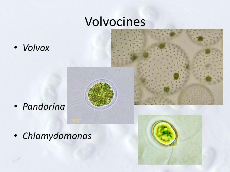 Volvocines Volvox Pandorina Chlamydomonas