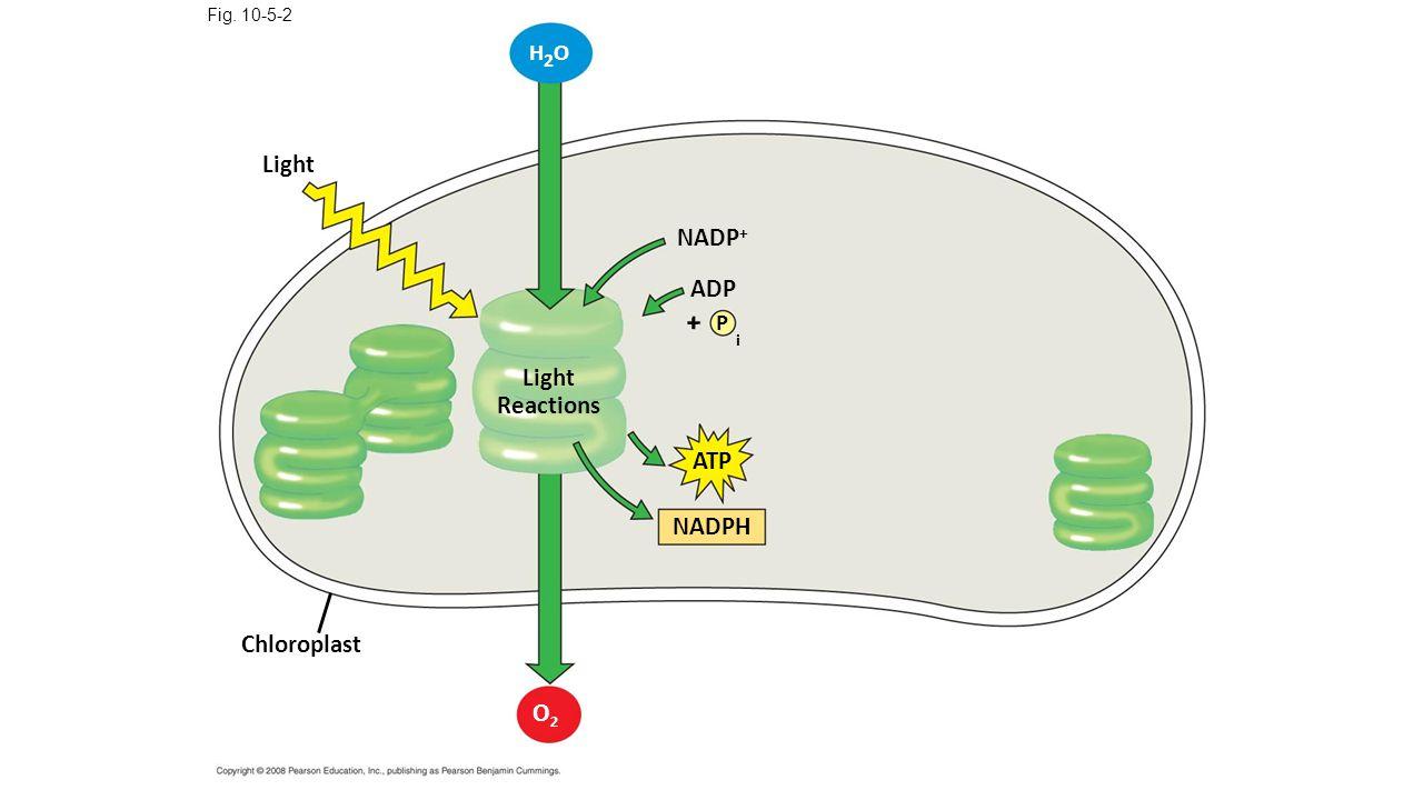 Light Fig. 10-5-2 H2OH2O Chloroplast Light Reactions NADP + P ADP i + ATP NADPH O2O2