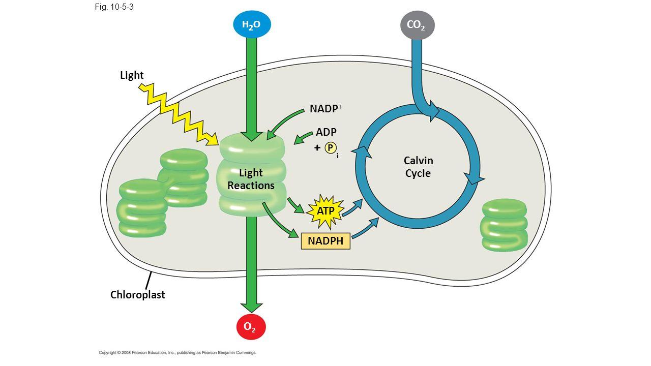 Light Fig. 10-5-3 H2OH2O Chloroplast Light Reactions NADP + P ADP i + ATP NADPH O2O2 Calvin Cycle CO 2