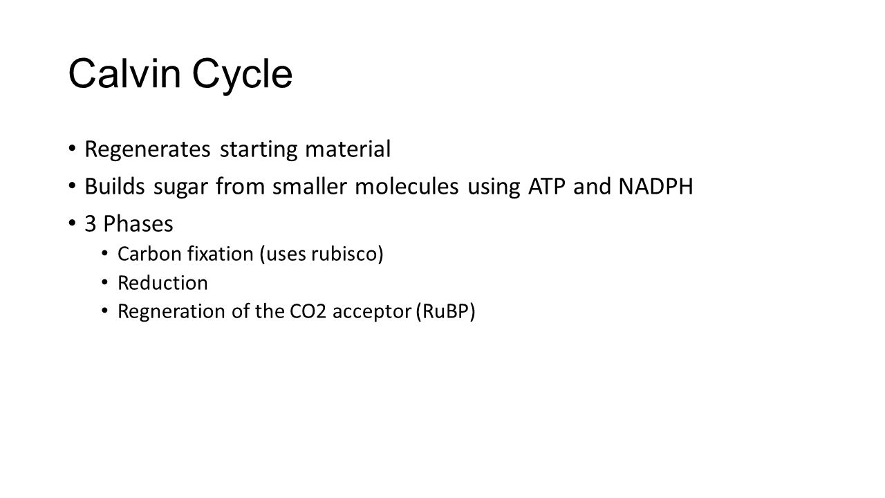 Calvin Cycle Regenerates starting material Builds sugar from smaller molecules using ATP and NADPH 3 Phases Carbon fixation (uses rubisco) Reduction R