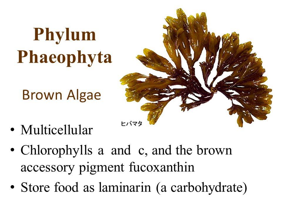 Phylum Phaeophyta Multicellular Chlorophylls a and c, and the brown accessory pigment fucoxanthin Store food as laminarin (a carbohydrate) Brown Algae