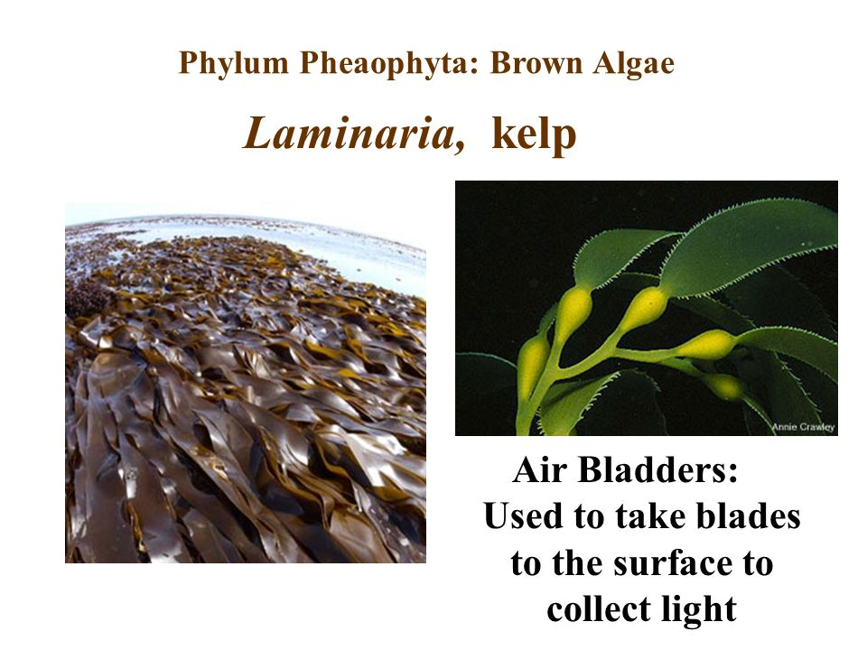 Phylum Pheaophyta: Brown Algae Air Bladders: Used to take blades to the surface to collect light Laminaria, kelp