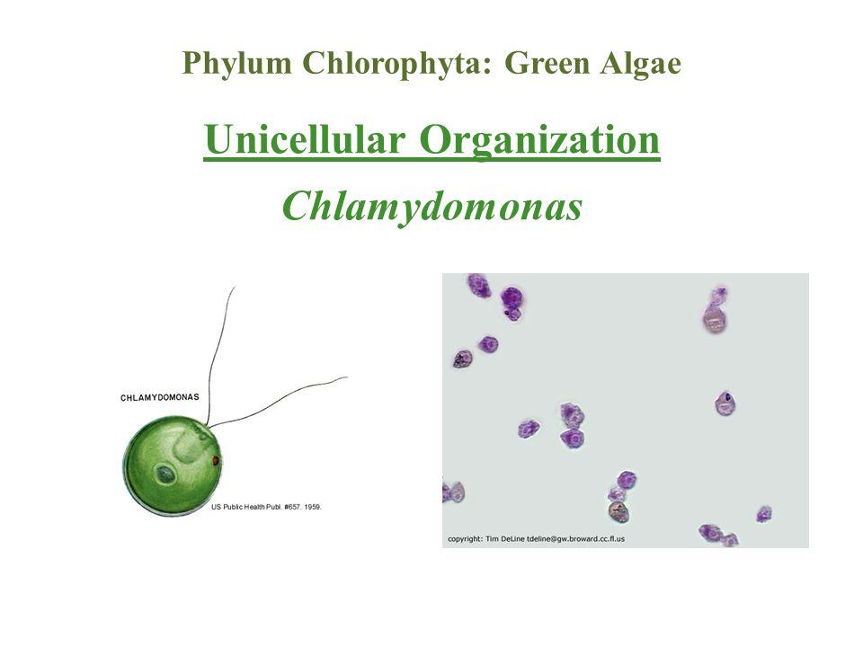 Phylum Chlorophyta: Green Algae Unicellular Organization Chlamydomonas