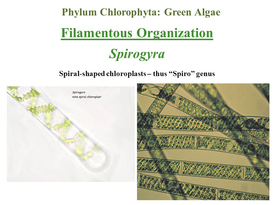 Phylum Chlorophyta: Green Algae Spiral-shaped chloroplasts – thus Spiro genus Filamentous Organization Spirogyra