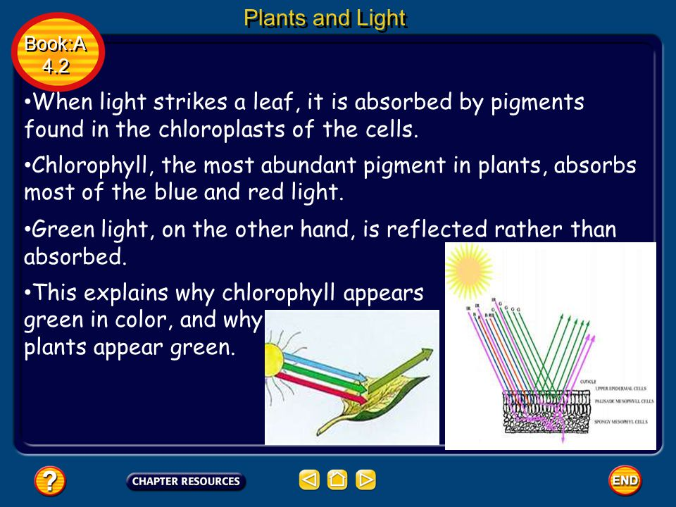 Plants and Light Book:A 4.2 Book:A 4.2 When light strikes a leaf, it is absorbed by pigments found in the chloroplasts of the cells. Chlorophyll, the