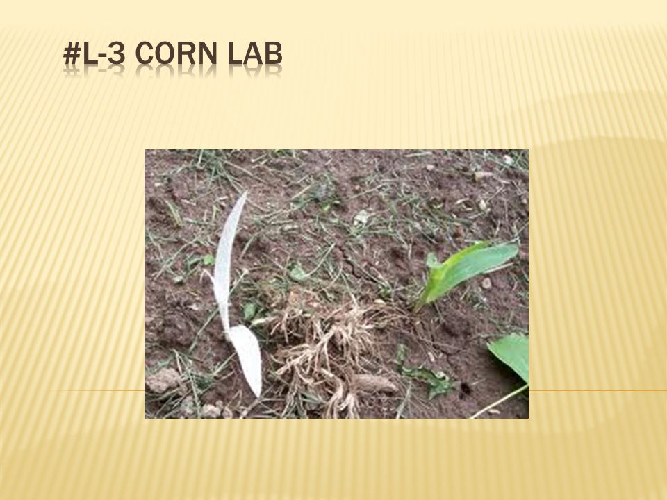 (Calculate the percent green and percent albino corn and report in results section.) Percent green = # green plants x 100 total # plants Percent albino = # albino plants x 100 total # plants