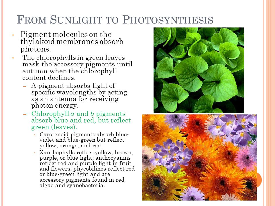F ROM S UNLIGHT TO P HOTOSYNTHESIS Pigment molecules on the thylakoid membranes absorb photons.