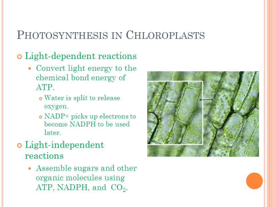 P HOTOSYNTHESIS IN C HLOROPLASTS Light-dependent reactions Convert light energy to the chemical bond energy of ATP. Water is split to release oxygen.