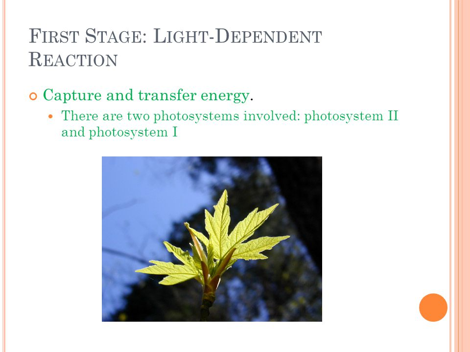 F IRST S TAGE : L IGHT -D EPENDENT R EACTION Capture and transfer energy. There are two photosystems involved: photosystem II and photosystem I