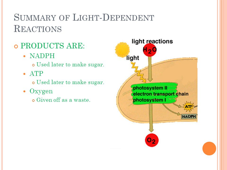 S UMMARY OF L IGHT -D EPENDENT R EACTIONS PRODUCTS ARE: NADPH Used later to make sugar. ATP Used later to make sugar. Oxygen Given off as a waste.
