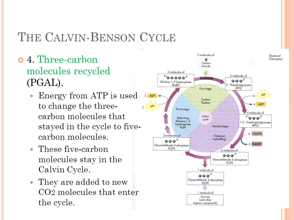 T HE C ALVIN -B ENSON C YCLE 4. Three-carbon molecules recycled (PGAL).