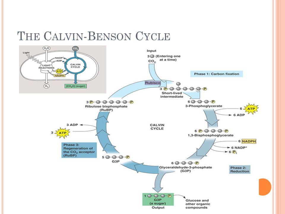 T HE C ALVIN -B ENSON C YCLE