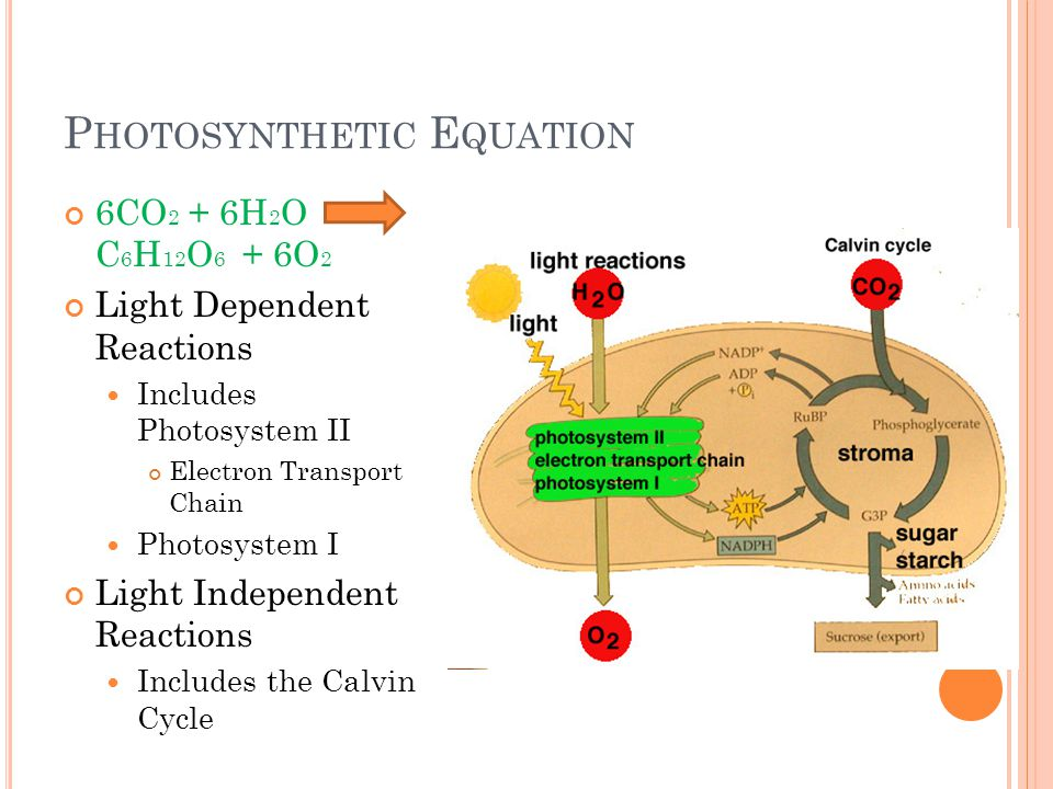 P HOTOSYNTHETIC E QUATION 6CO 2 + 6H 2 O C 6 H 12 O 6 + 6O 2 Light Dependent Reactions Includes Photosystem II Electron Transport Chain Photosystem I Light Independent Reactions Includes the Calvin Cycle