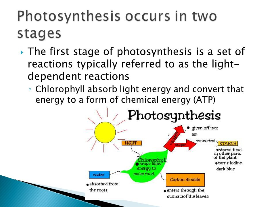  The first stage of photosynthesis is a set of reactions typically referred to as the light- dependent reactions ◦ Chlorophyll absorb light energy an