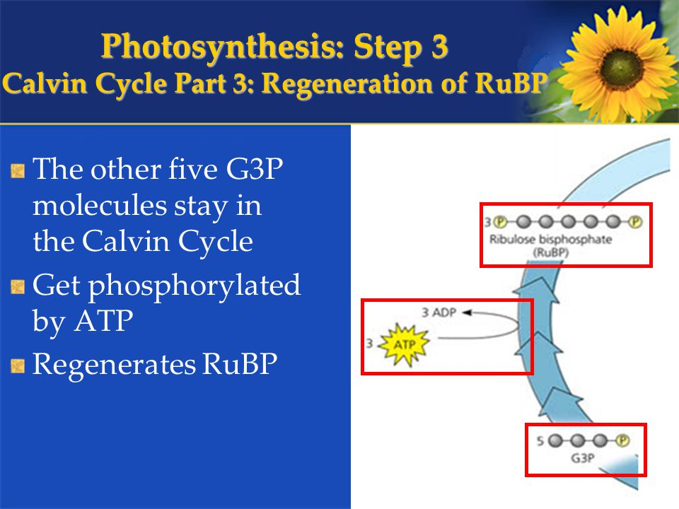 Photosynthesis: Step 3 Calvin Cycle Part 3: Regeneration of RuBP The other five G3P molecules stay in the Calvin Cycle Get phosphorylated by ATP Regenerates RuBP