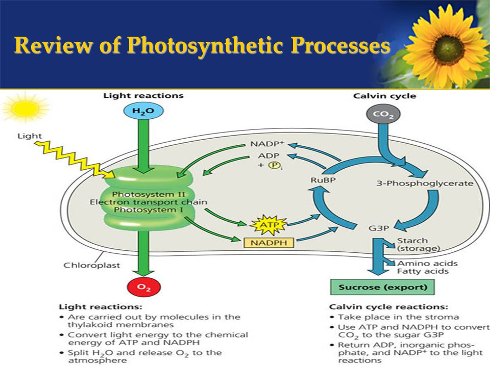 Review of Photosynthetic Processes