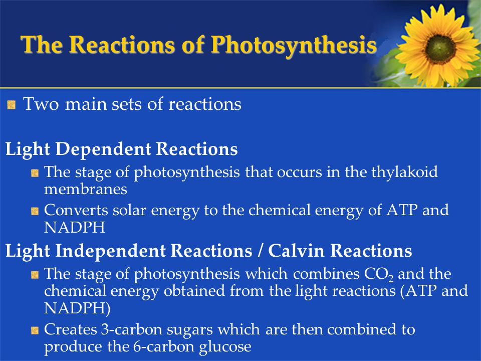 The Reactions of Photosynthesis Two main sets of reactions Light Dependent Reactions The stage of photosynthesis that occurs in the thylakoid membranes Converts solar energy to the chemical energy of ATP and NADPH Light Independent Reactions / Calvin Reactions The stage of photosynthesis which combines CO 2 and the chemical energy obtained from the light reactions (ATP and NADPH) Creates 3-carbon sugars which are then combined to produce the 6-carbon glucose