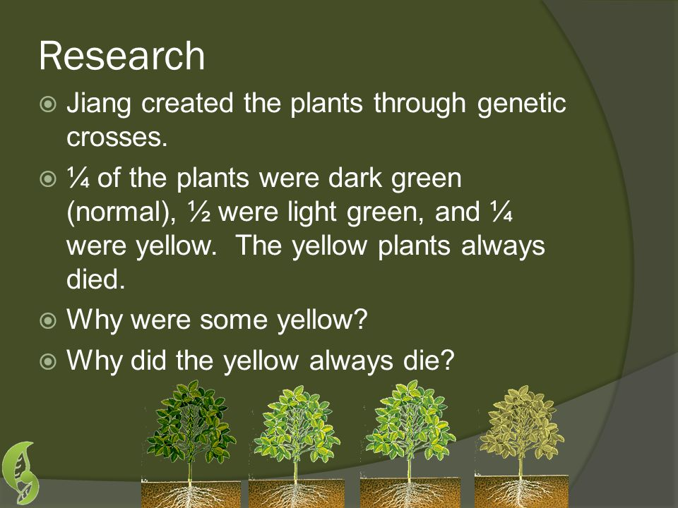 Research  Jiang created the plants through genetic crosses.