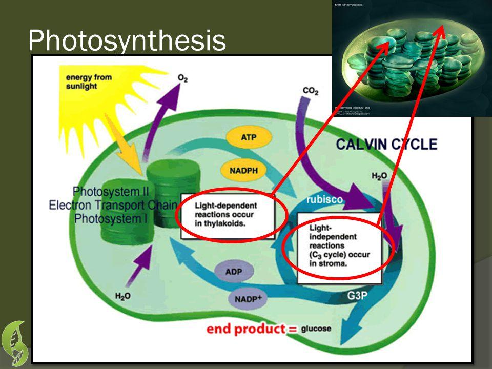 Photosystem II 1.