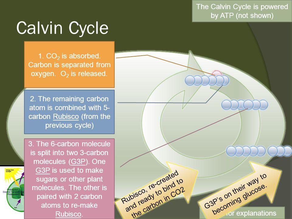 Photosynthesis (PSII & Calvin)