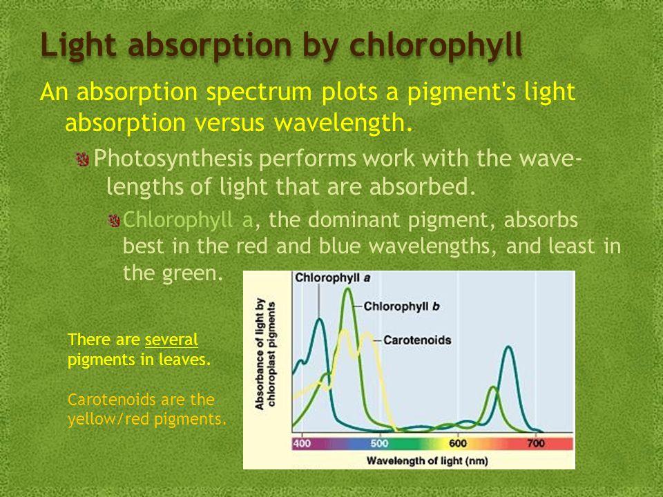 Light absorption by chlorophyll An absorption spectrum plots a pigment s light absorption versus wavelength.