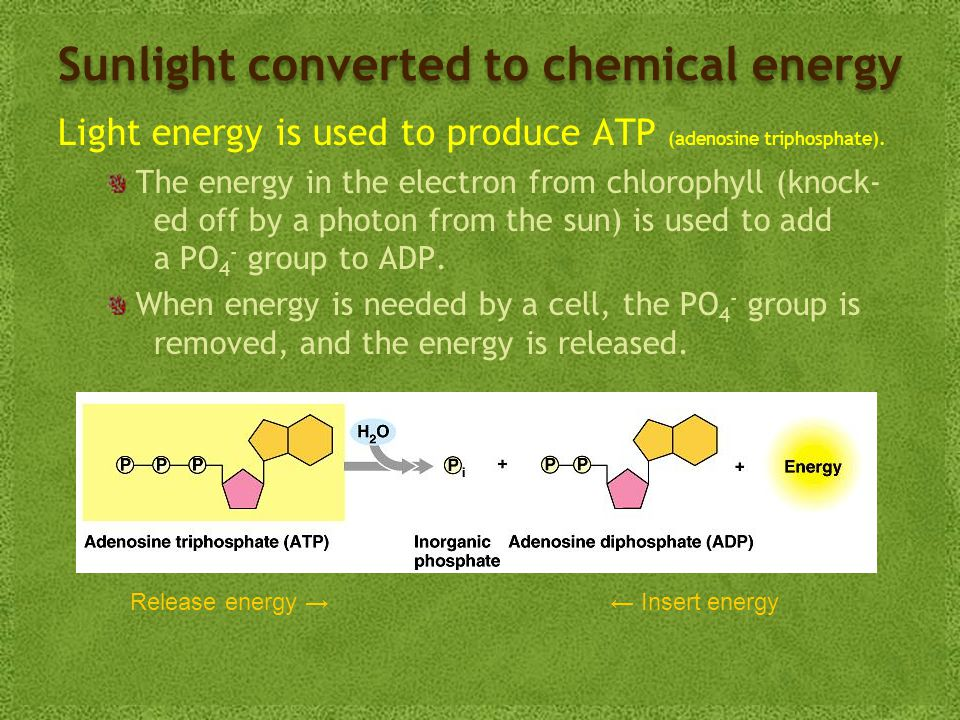 Sunlight converted to chemical energy Light energy is used to produce ATP (adenosine triphosphate).