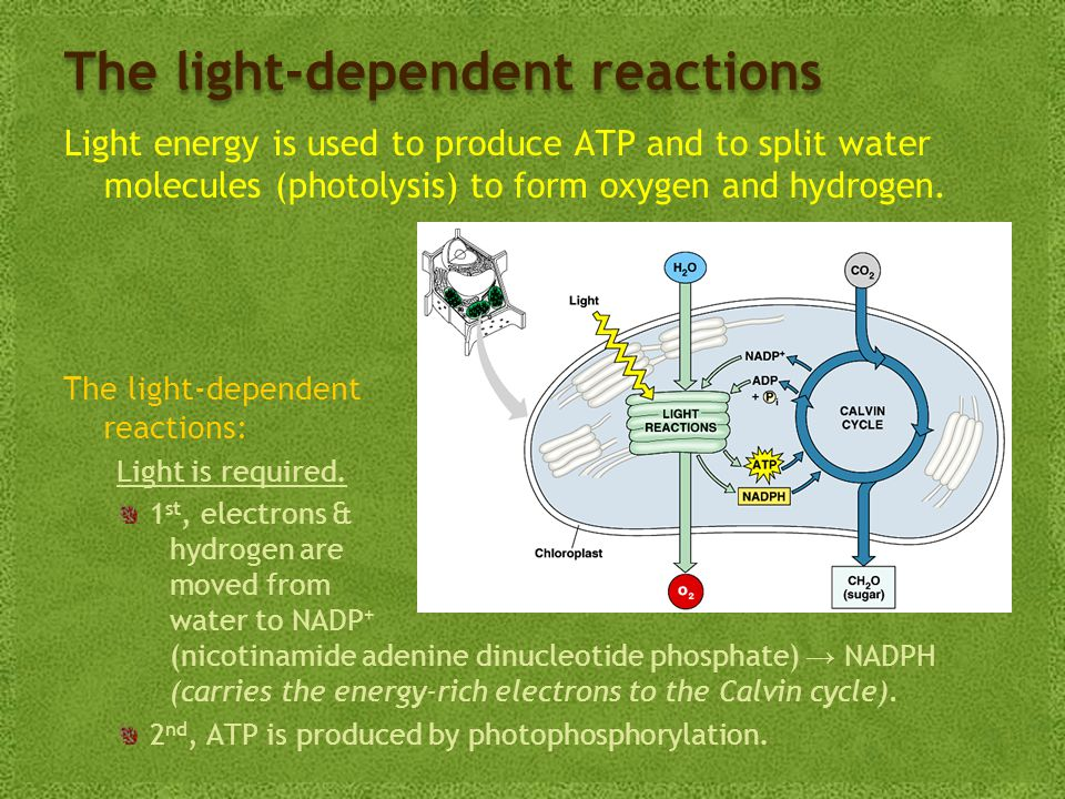 The light-dependent reactions Light energy is used to produce ATP and to split water molecules (photolysis) to form oxygen and hydrogen.