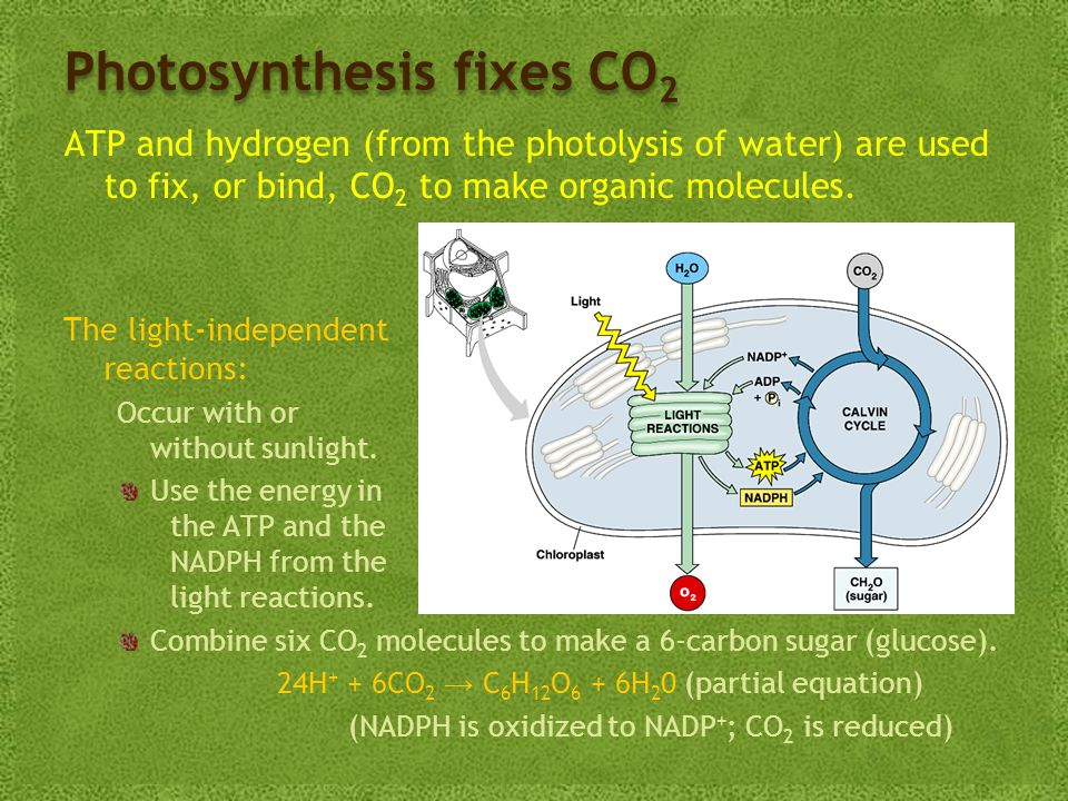 Photosynthesis fixes CO 2 ATP and hydrogen (from the photolysis of water) are used to fix, or bind, CO 2 to make organic molecules.