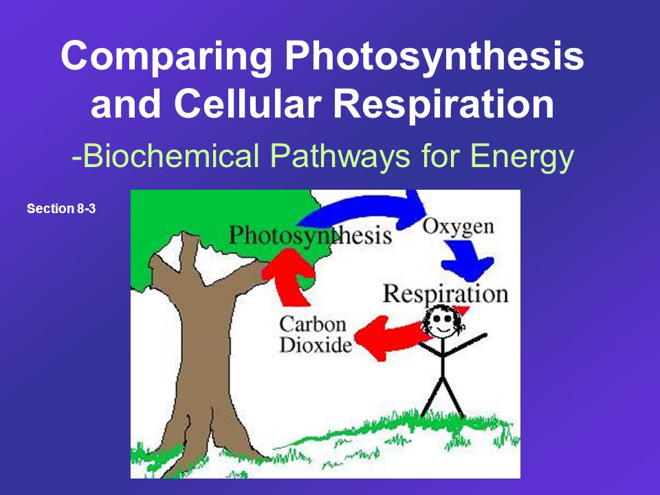Comparing Photosynthesis and Cellular Respiration -Biochemical Pathways for Energy Section 8-3