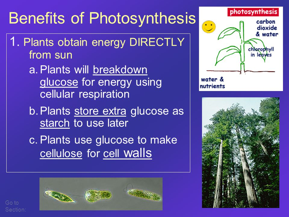 1. Plants obtain energy DIRECTLY from sun a.Plants will breakdown glucose for energy using cellular respiration b.Plants store extra glucose as starch