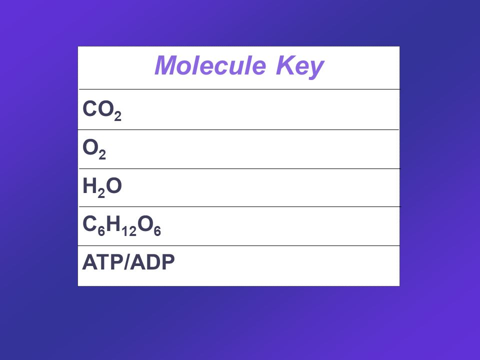Molecule Key CO 2 Carbon Dioxide O 2 Oxygen H 2 O Water C 6 H 12 O 6 Glucose ATP/ADPEnergy carrier