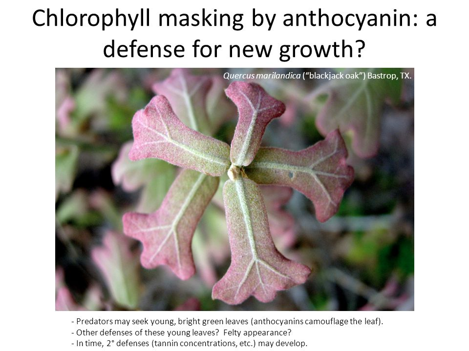 Chlorophyll masking by anthocyanin: a defense for new growth.