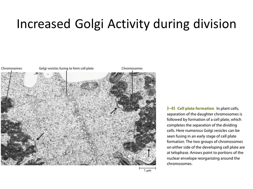 Increased Golgi Activity during division