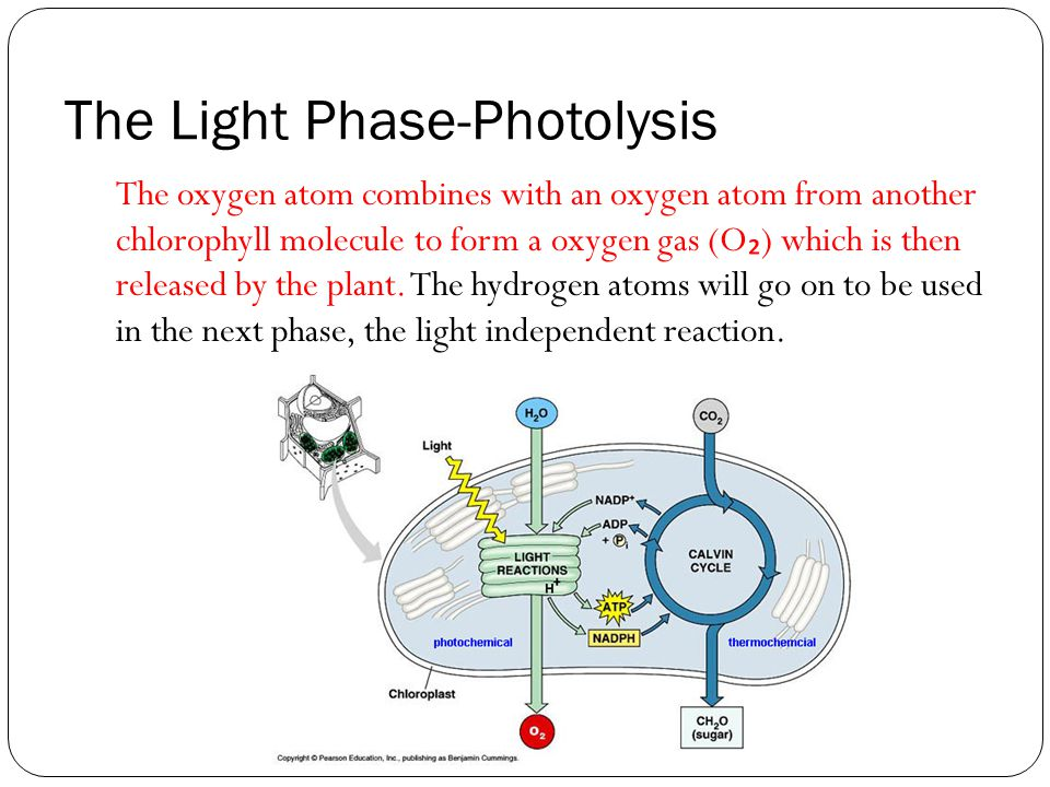 The Light Phase-Photolysis The oxygen atom combines with an oxygen atom from another chlorophyll molecule to form a oxygen gas (O ₂ ) which is then released by the plant.