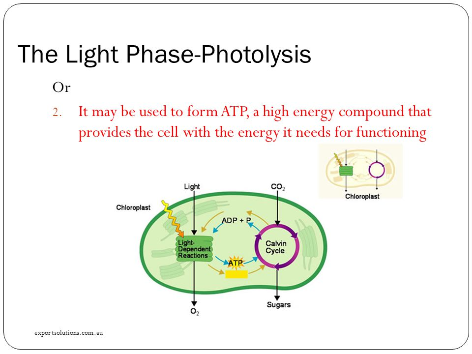 The Light Phase-Photolysis Or 2. It may be used to form ATP, a high energy compound that provides the cell with the energy it needs for functioning ex
