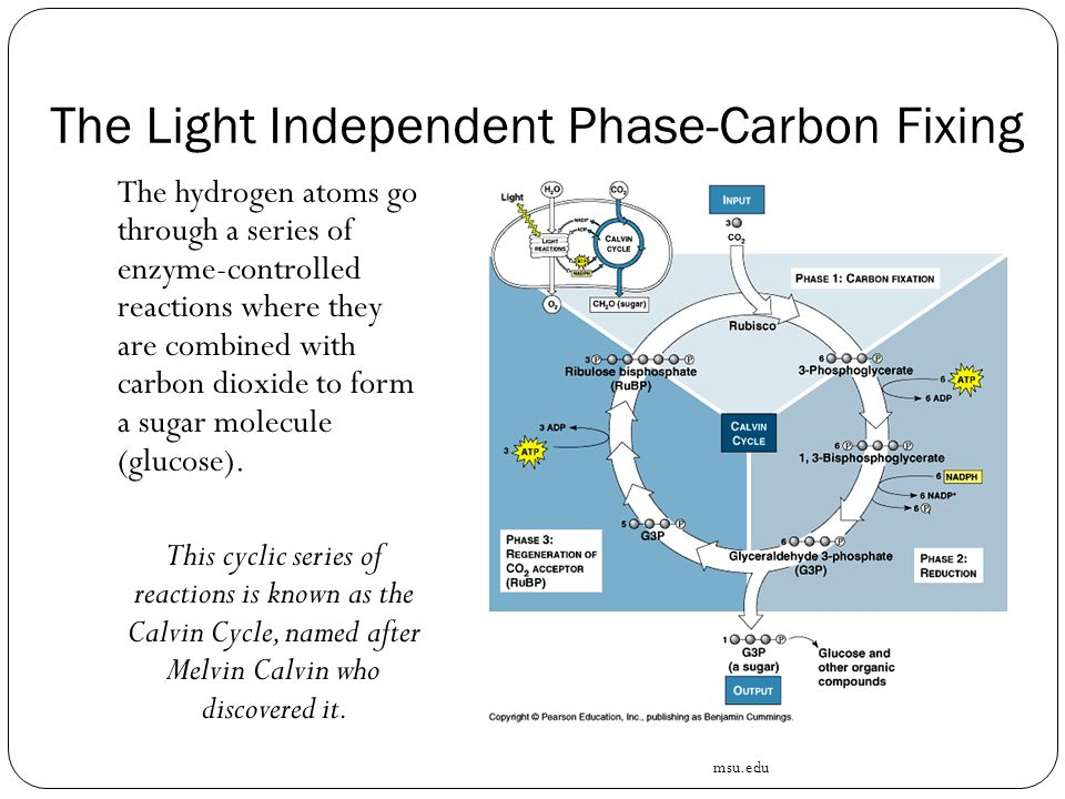 The Light Independent Phase-Carbon Fixing The hydrogen atoms go through a series of enzyme-controlled reactions where they are combined with carbon dioxide to form a sugar molecule (glucose).