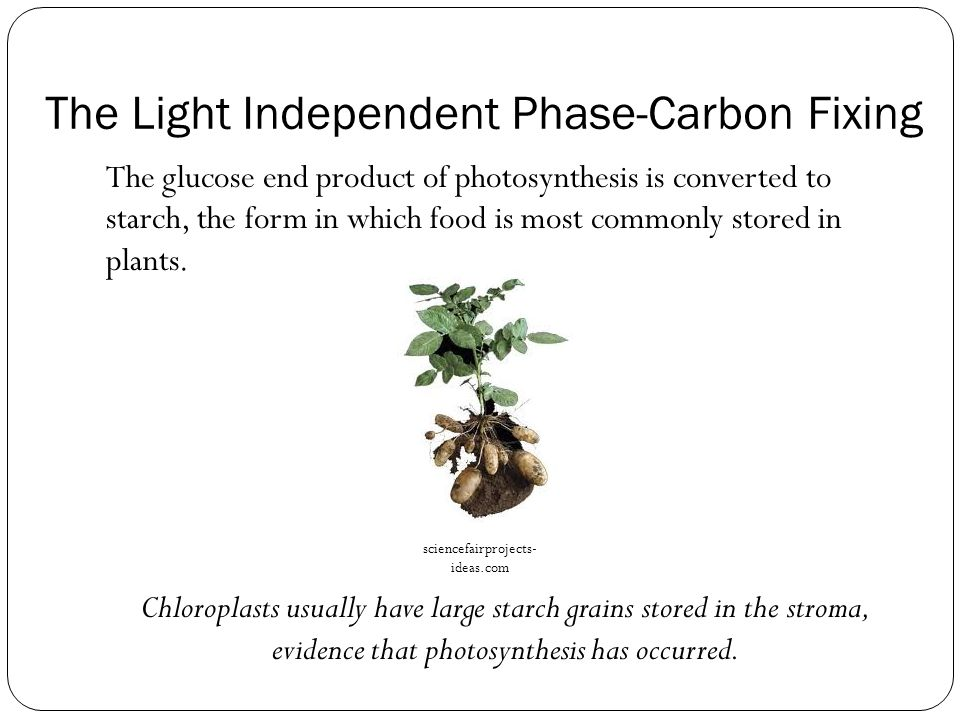 The Light Independent Phase-Carbon Fixing The glucose end product of photosynthesis is converted to starch, the form in which food is most commonly st