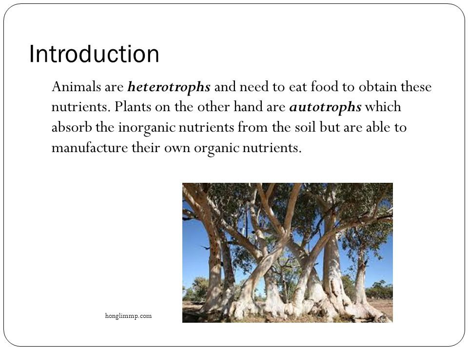 Introduction Animals are heterotrophs and need to eat food to obtain these nutrients. Plants on the other hand are autotrophs which absorb the inorgan