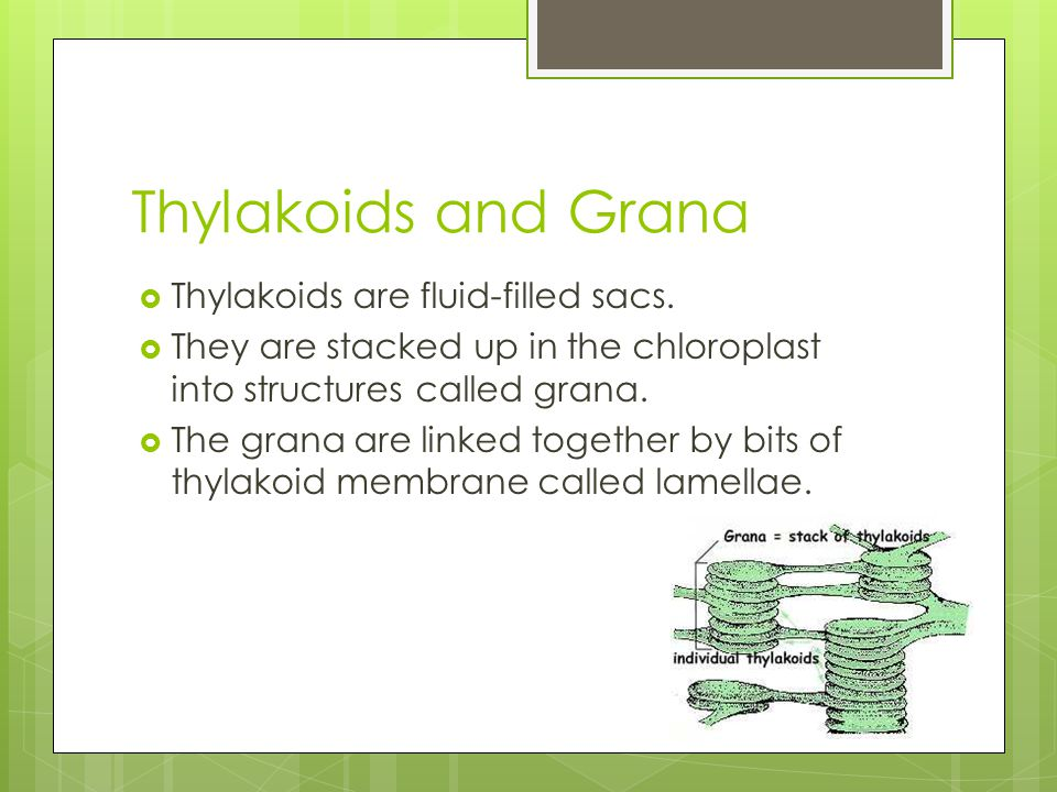 Thylakoids and Grana  Thylakoids are fluid-filled sacs.  They are stacked up in the chloroplast into structures called grana.  The grana are linked