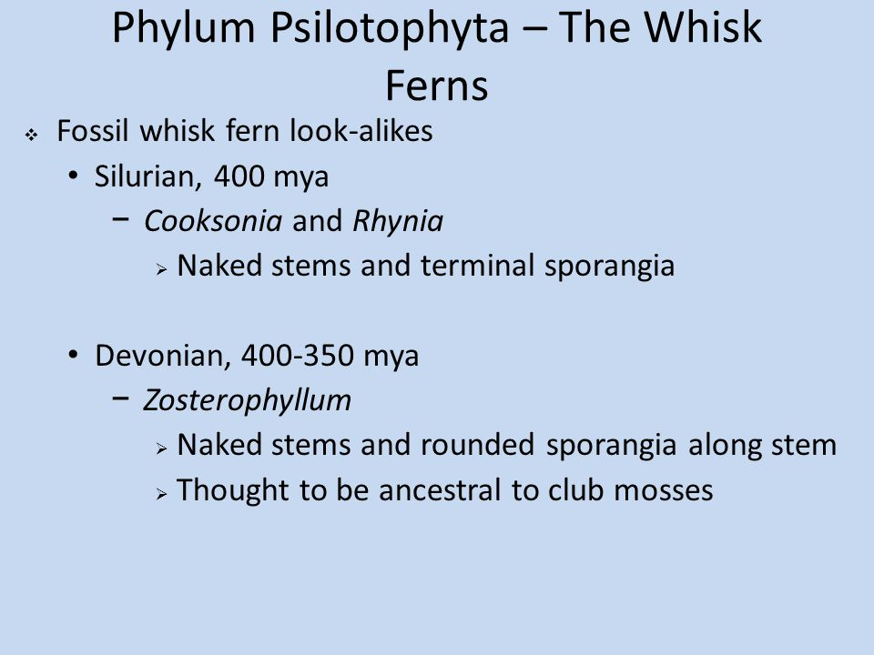 Phylum Psilotophyta – The Whisk Ferns  Fossil whisk fern look-alikes Silurian, 400 mya −Cooksonia and Rhynia  Naked stems and terminal sporangia Devonian, 400-350 mya −Zosterophyllum  Naked stems and rounded sporangia along stem  Thought to be ancestral to club mosses