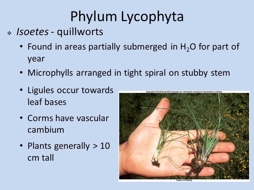 Phylum Lycophyta  Isoetes - quillworts Found in areas partially submerged in H 2 O for part of year Microphylls arranged in tight spiral on stubby stem Ligules occur towards leaf bases Corms have vascular cambium Plants generally > 10 cm tall