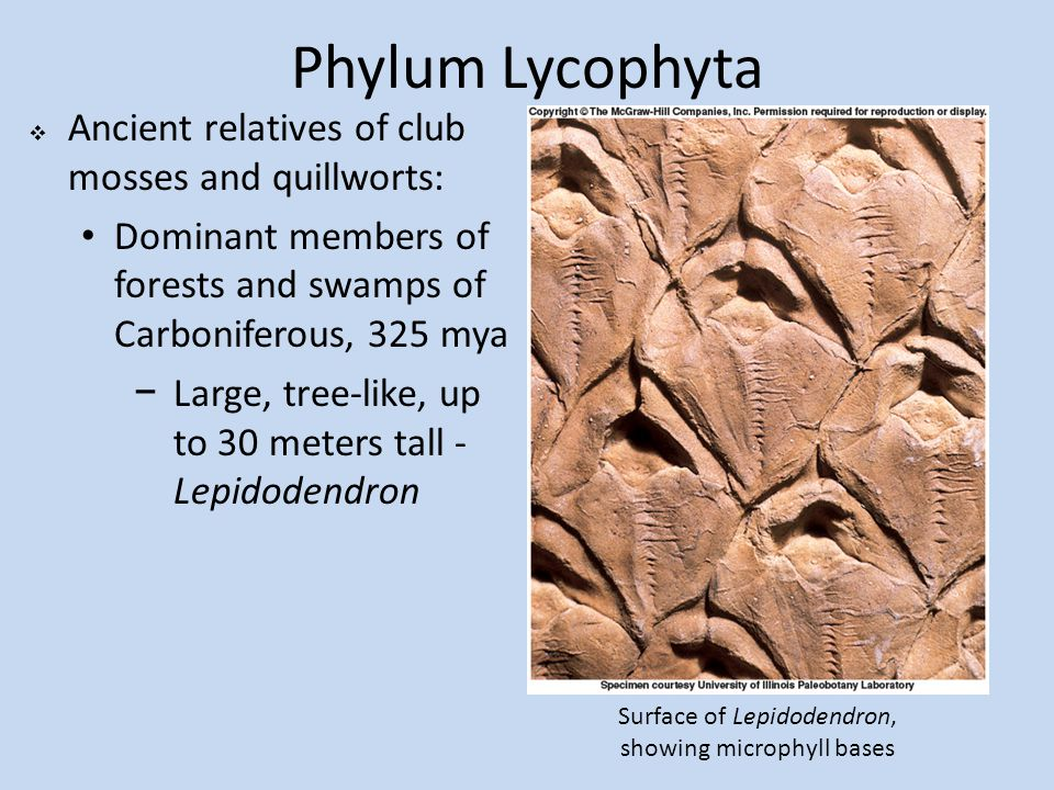Phylum Lycophyta  Ancient relatives of club mosses and quillworts: Dominant members of forests and swamps of Carboniferous, 325 mya −Large, tree-like, up to 30 meters tall - Lepidodendron Surface of Lepidodendron, showing microphyll bases