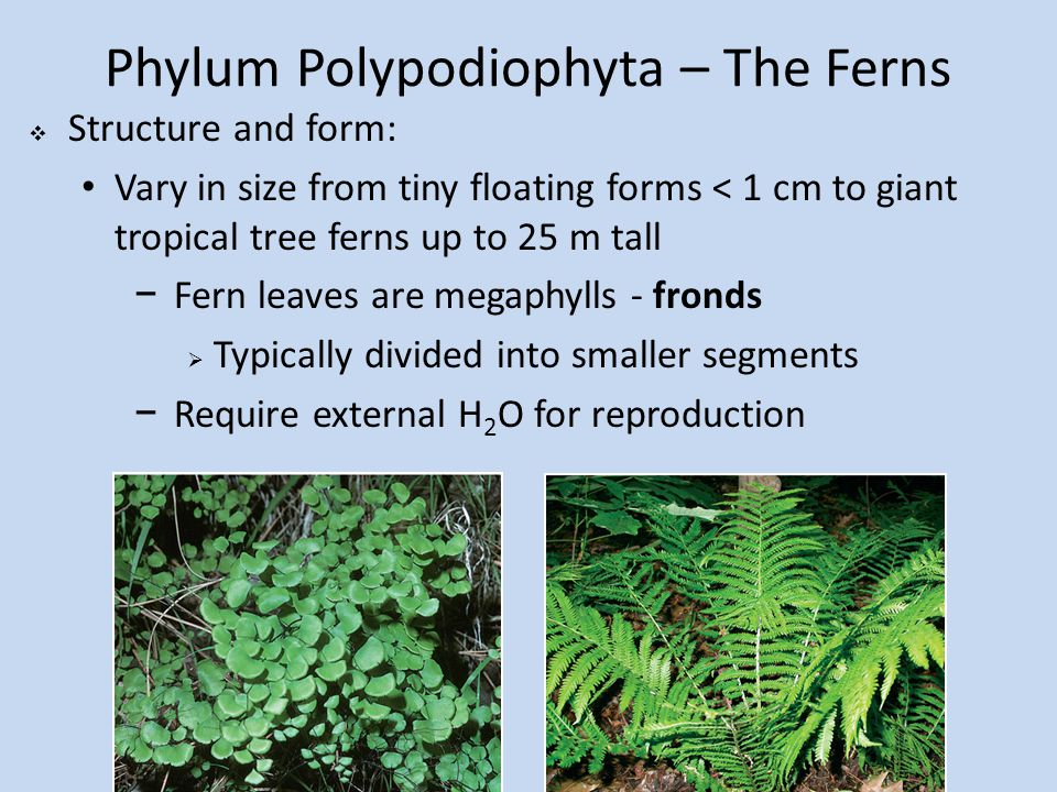 Phylum Polypodiophyta – The Ferns  Structure and form: Vary in size from tiny floating forms < 1 cm to giant tropical tree ferns up to 25 m tall −Fern leaves are megaphylls - fronds  Typically divided into smaller segments −Require external H 2 O for reproduction