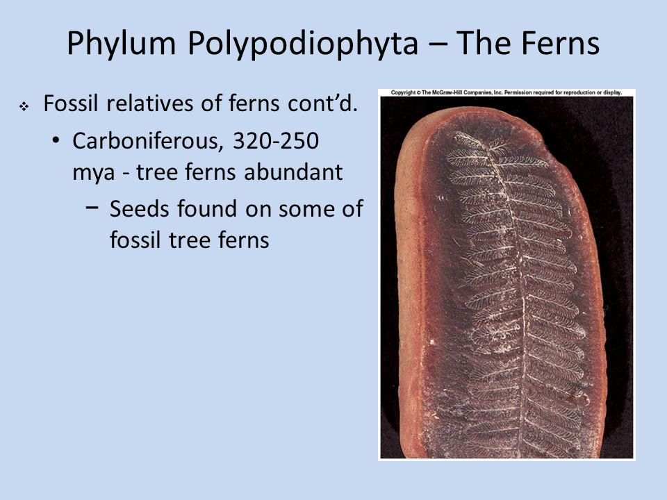 Phylum Polypodiophyta – The Ferns  Fossil relatives of ferns cont'd. Carboniferous, 320-250 mya - tree ferns abundant −Seeds found on some of fossil