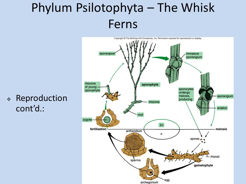 Phylum Psilotophyta – The Whisk Ferns  Reproduction cont'd.: