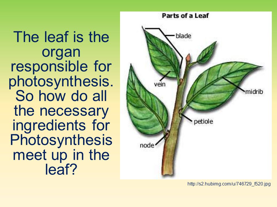 The leaf is the organ responsible for photosynthesis.