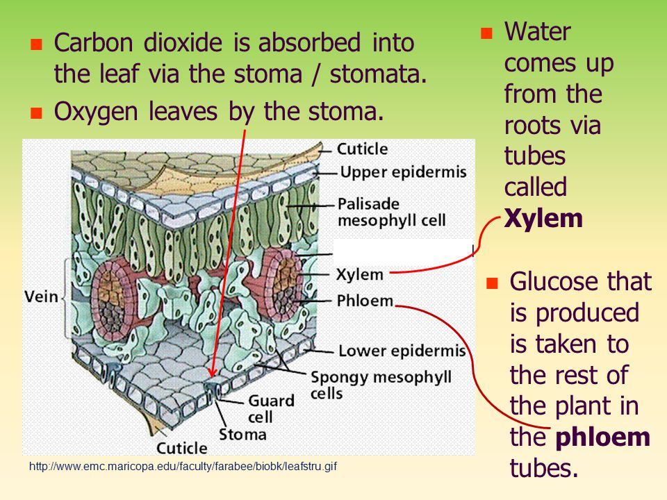 Carbon dioxide is absorbed into the leaf via the stoma / stomata.