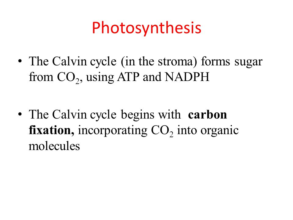 Photosynthesis The Calvin cycle (in the stroma) forms sugar from CO 2, using ATP and NADPH The Calvin cycle begins with carbon fixation, incorporating CO 2 into organic molecules