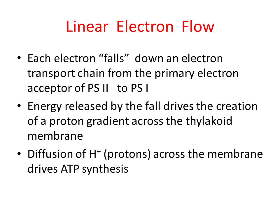 Linear Electron Flow Each electron falls down an electron transport chain from the primary electron acceptor of PS II to PS I Energy released by the fall drives the creation of a proton gradient across the thylakoid membrane Diffusion of H + (protons) across the membrane drives ATP synthesis
