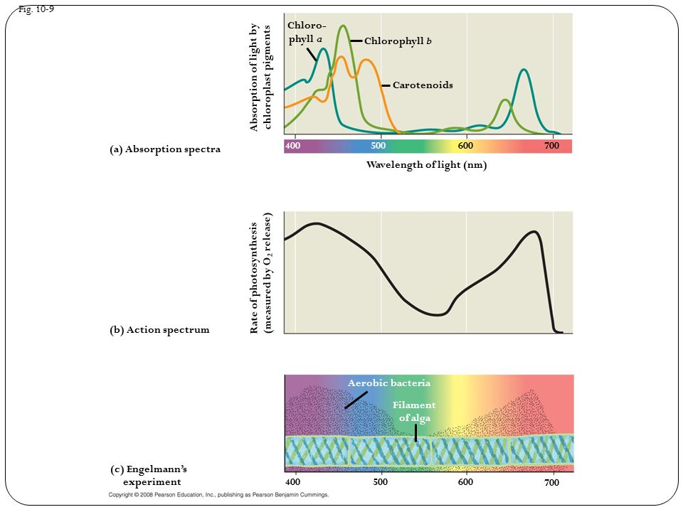 Fig. 10-9 Wavelength of light (nm) (b) Action spectrum (a) Absorption spectra (c) Engelmann's experiment Aerobic bacteria Rate of photosynthesis (meas
